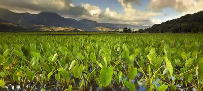 Kauai Photography:  Hanalei Taro Fields