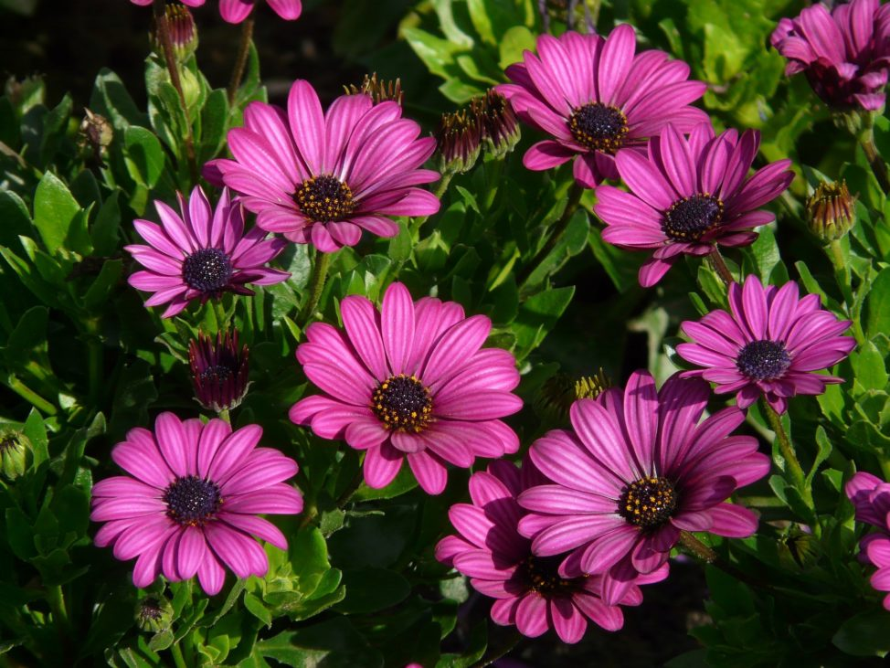 Gerbera Daisy by Hans via Pixabay