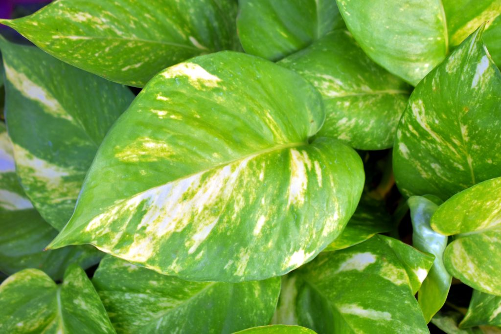 Golde Pothos by Sandeep Handa via Pixabay