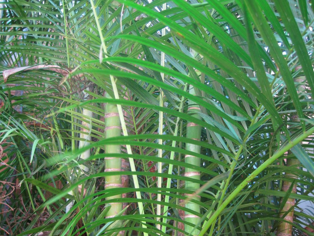 Bamboo Palm via Public Domain Pictures