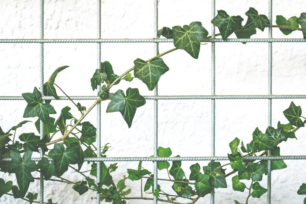 English Ivy by Lum3n.com via Pexels