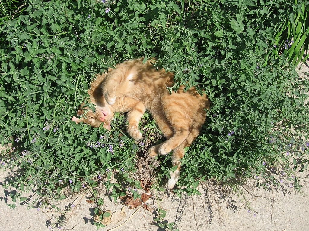 Cat Sleeping in Catmint (Catnip)