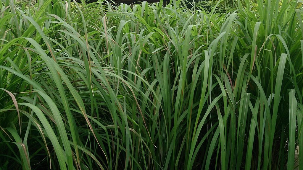 Citronella Grass by Mokkie