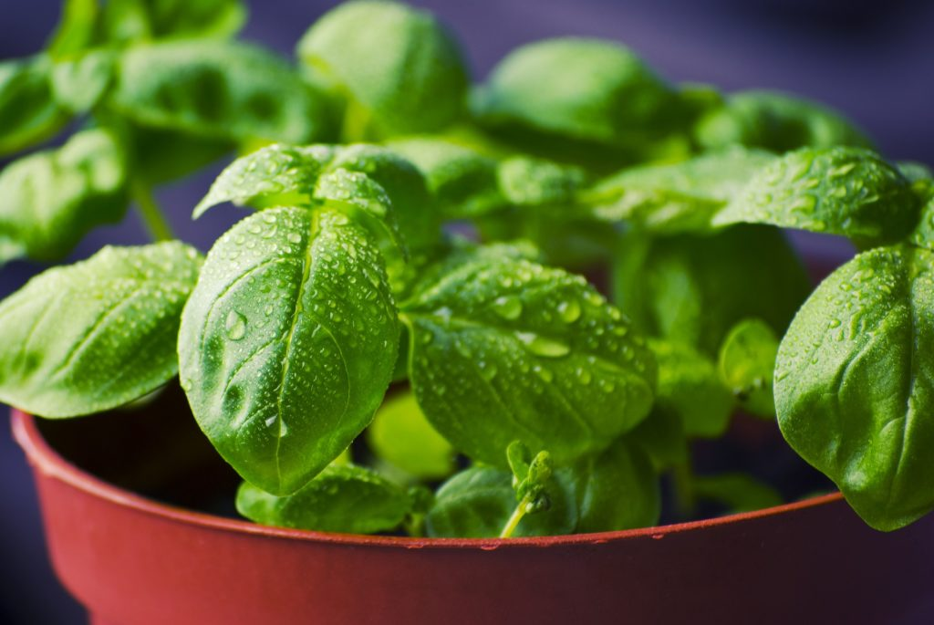 Basil from Pixabay
