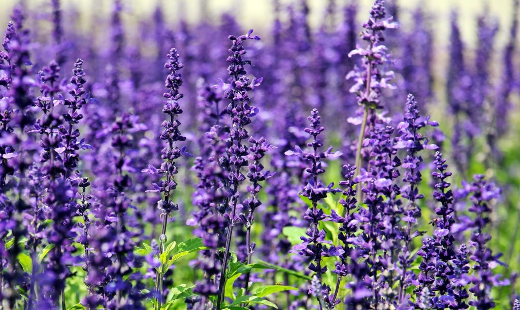 Lavender from Pixabay
