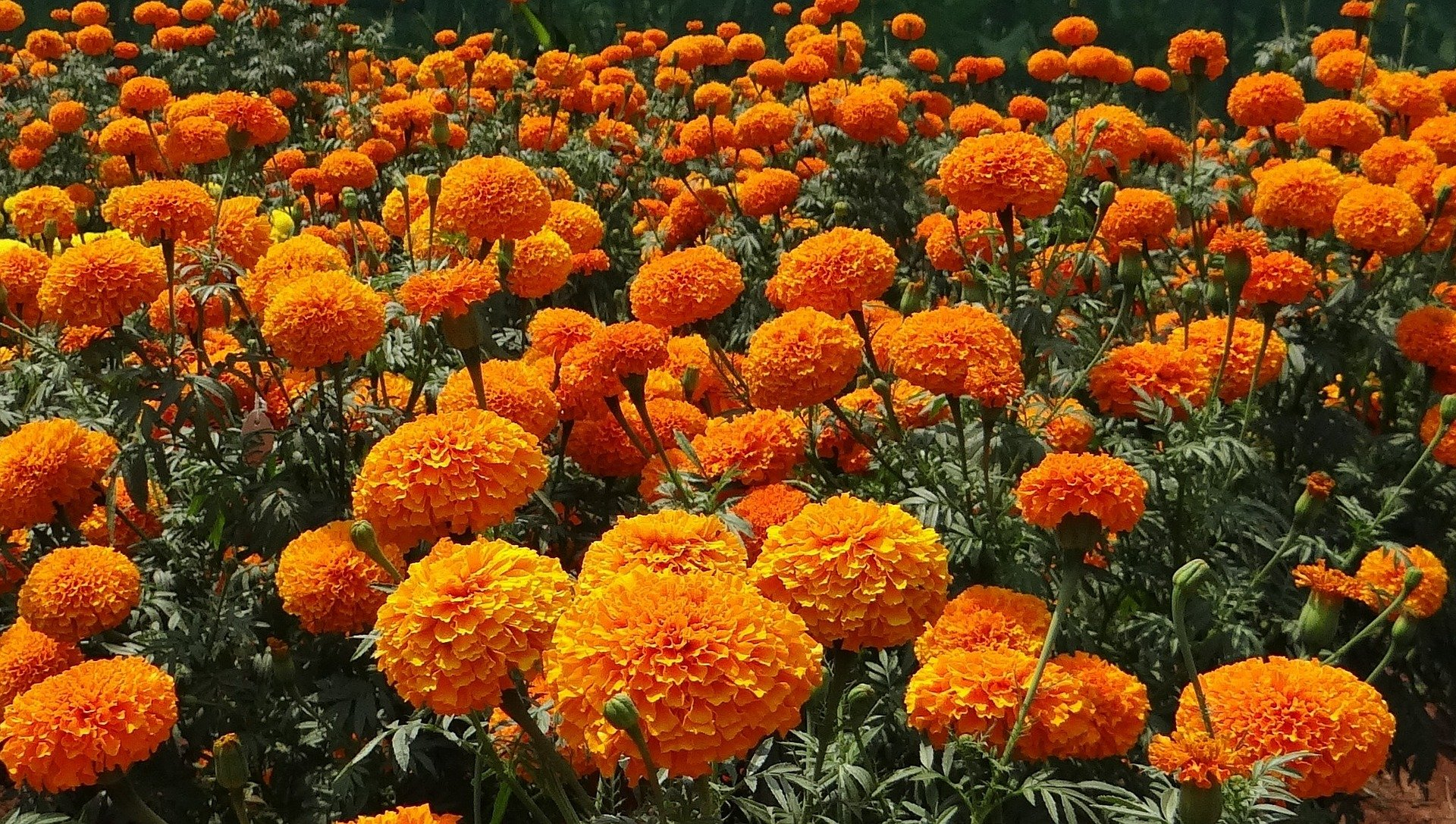 Marigolds from Pixabay