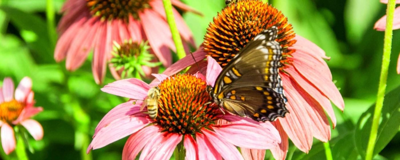 A bee and butterfly on a pink cone flower