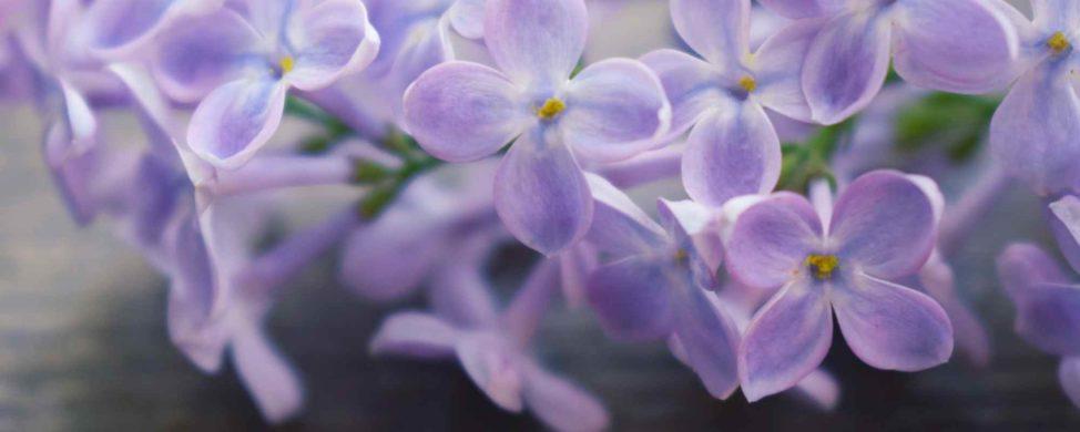Beatiful lavender lilacs