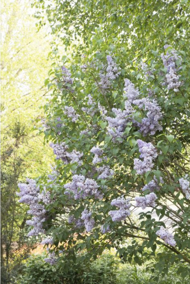 Monrovia 'Blue Skies' Light Lavender Lilac
