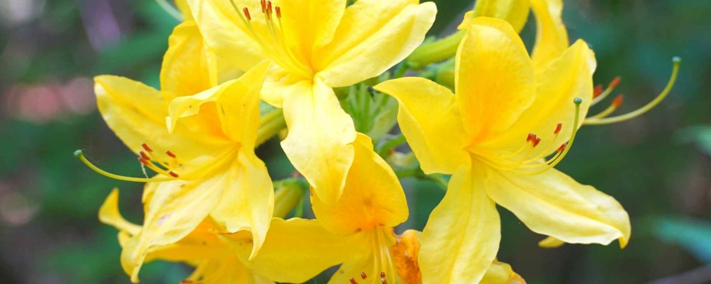 Yellow Azalea - Wilmington North Carolina