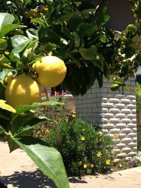 Lemon front yard