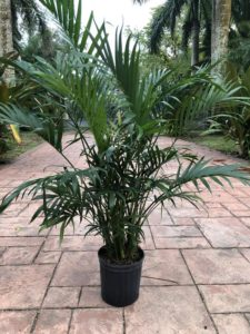 Also there is a cat palm tree in a black pot. Additionally the pot is sitting on a paver sidewalk and the color is grays and muted reds.
